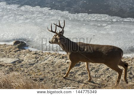 A large Whitetail buck walking by a frozen river