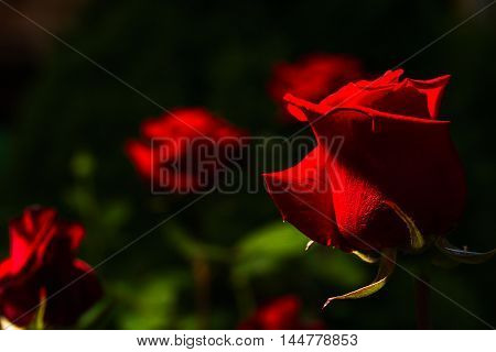 beautiful wild-growing red roses on dark background lowkey