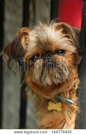 Nice  and curious brussels griffon breed dog