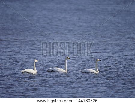 The movement of migratory swans