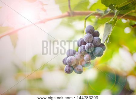 grape fresh In the vineyards bunch of red grapes on the vine with green leaves blurred background for design and background.