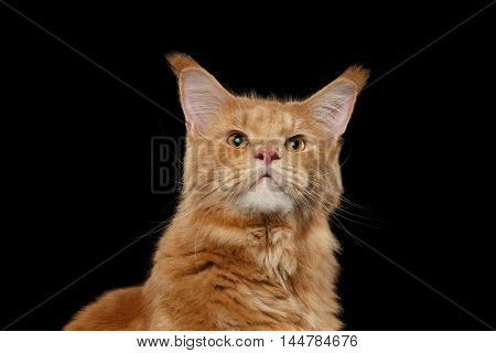 Close-up Portrait of Curious Ginger Maine Coon Cat Looking up Isolated on Black Background, Front view