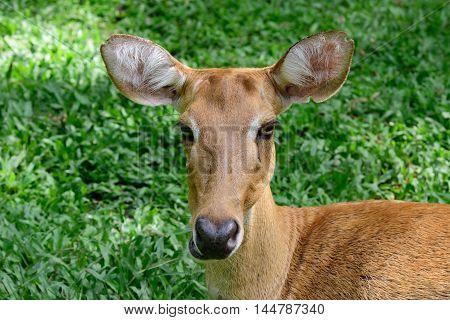 Burmese Brow-antlered Deer Or Rucervus Eldii Thamin.