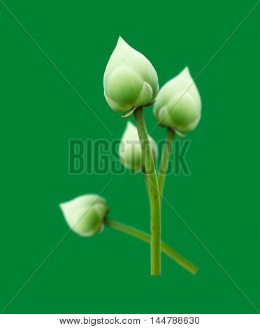 lotus flower isolated on green background .
