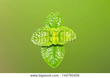 Peppermint fresh Isolated on green background .