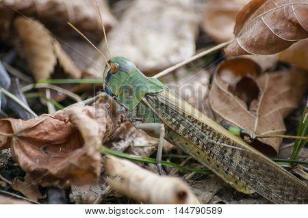 Portrait of a locust on autumn leaves. Macro shot.