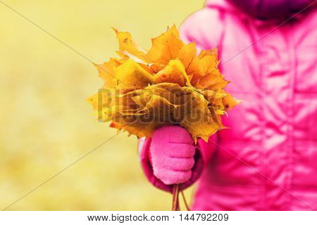 autumn, childhood, season and people concept - close up of little girl hand holding maple leaves bunch outdoors
