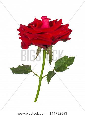 rose flower nature red rose isolated on white background