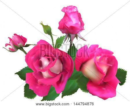 illustration with pink roses and buds isolated on white background
