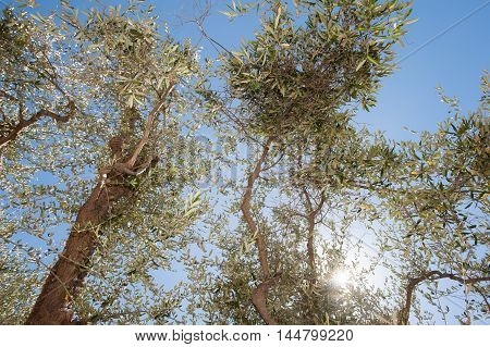 Olive Tree Ready For Fruit Collection