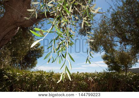 Olive Tree Branch Ready For Fruit Collection