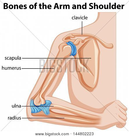 Bones of the arm and shoulder illustration