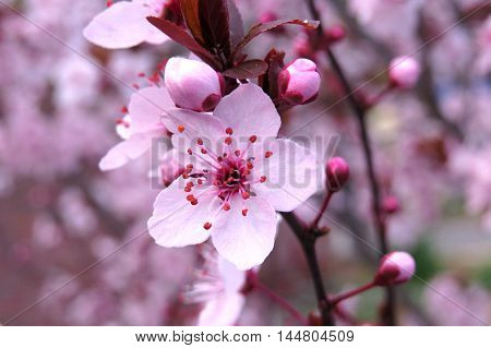 Spring pink blossom on a tree with buds