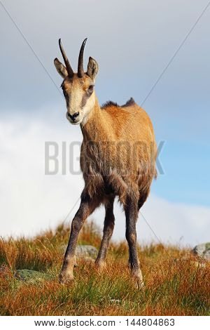 Chamois in mountain Low Tatras at day
