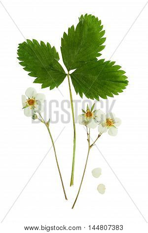 Pressed and dried flowers strawberry with green leaves. Isolated on white background. For use in scrapbooking floristry (oshibana) or herbarium.