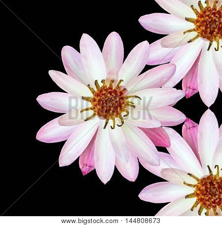 lotus flowers isolated black background apply design and background.