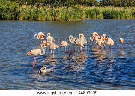 Large flock of pink flamingos arranged to sleep. Sunset National Park in Camargue, Provence, France