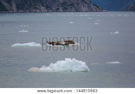 Harbor Seal in Alaska, USA