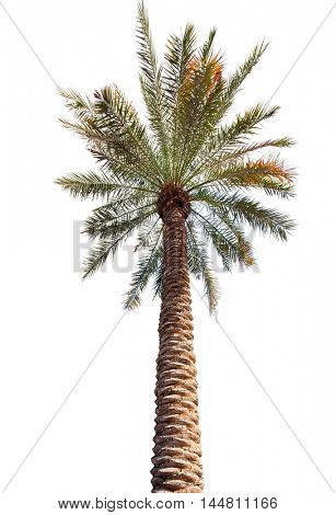 Palm tree with a long barrel. bottom up view. Isolated over white background