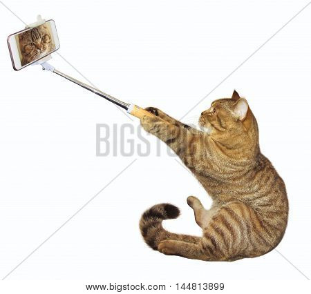 Scottish Straight cat takes a selfie. White background.