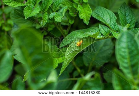 On the leaves of young potato postponed eggs of Colorado potato beetle. The plant is subjected to the attack of pests. Damage from insects. Growing vegetables at home.