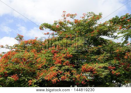 Red Flower Of Royal Poinciana Or Flamboyant Tree