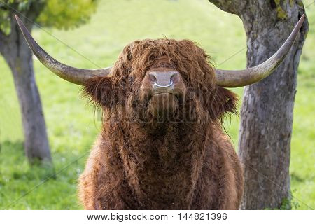 Close up of leaves highland cattle bull with iron nose ring. He is surrounded by gnarled trees and the head is raised like in pride.