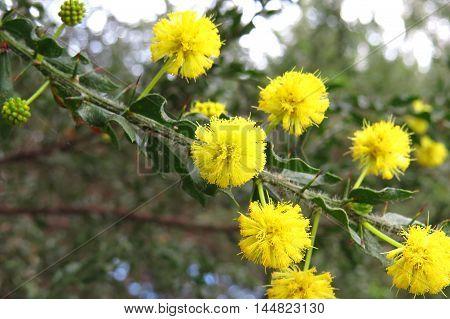 Yellow wattle or mimosa flowers in bloom