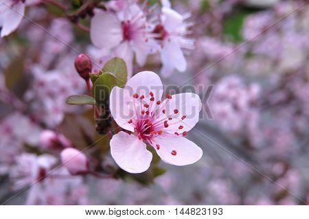 Pink blossom in bloom in Spring time