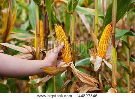 Farmer holding mature corn cob. On the right side of healthy sick from left moldy spoiled. Collect corn crop.