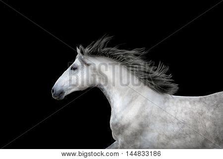 White Horse portrait run isolated on black background