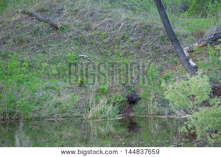 Beaver On The River Bank