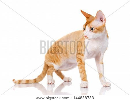 Orange devon rex cat standing on white background and looking aside the camera