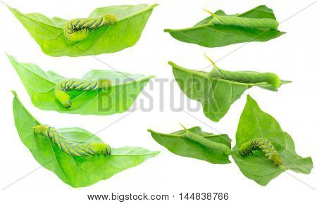 Closeup of green Caterpillar of death's head hawkmoth on green leaves in different positions, isolated on white background