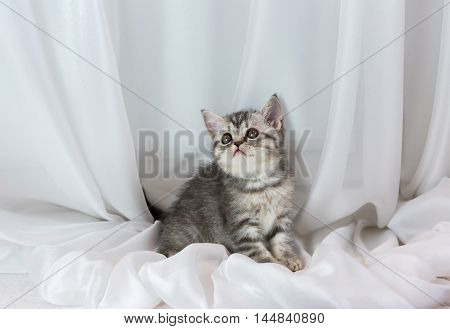 Beautiful little tabby kitten on a window sill. Scottish Straight breed.