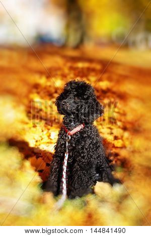 Black poodle in autumn park, beautiful autumn leaves. Blur effect at the edges