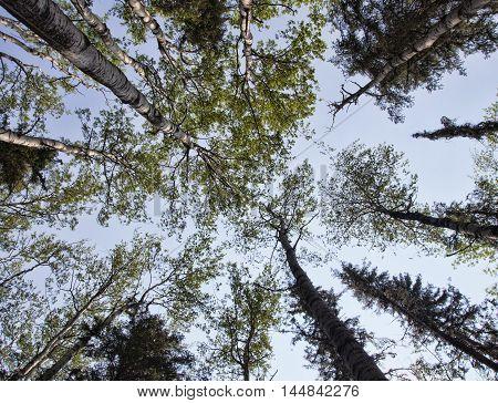 Light just peeking in on a tall bunch of trees in Saskatchewan Canada