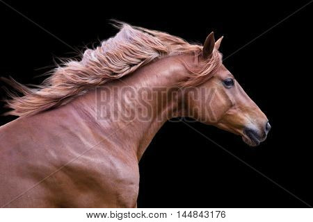 Portrait of the red horse isolated on the black background