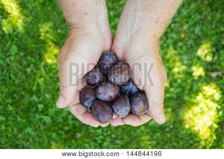 handful of ripe blue plums. hands with freshly harvested plums