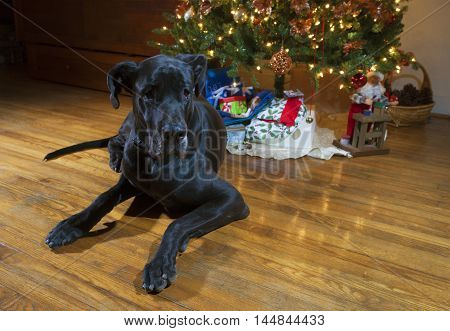 Purebred black Great Dane laying next to a Christmas tree