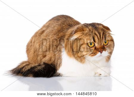 cute redhair Scottish Fold cat lying isolated on white background