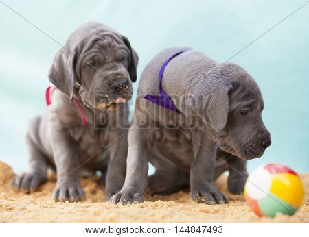 Pair of purebred Great Dane puppies near a ball