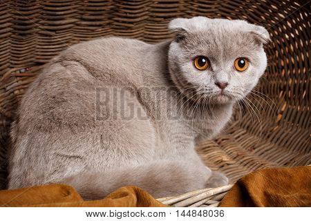 Beautiful gray cat with yellow eyes Scottish Fold Sits in a wooden basket