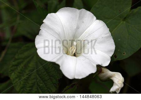 Flower of a hedge bindweed (Calystegia sepium)