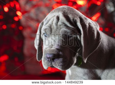 Great Dane puppy with a mean look and a red background