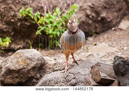 the Canarian red-legged partridge - a rotund bird with a light brown back grey breast and buff belly