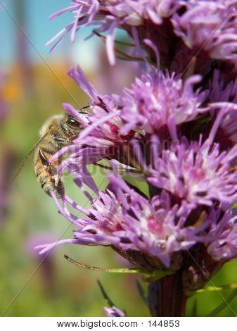 Bee On Blazing Star Flower