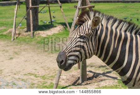 Close up of white and black animal zebras