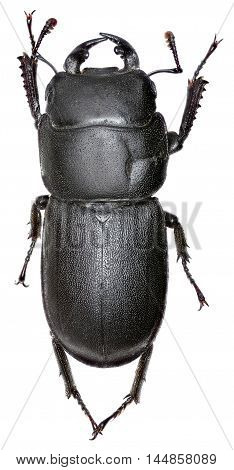 Lesser Stag Beetle on white Background  -  Dorcus parallelipipedus (Linnaeus, 1758)