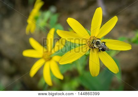 Common eastern bumblebee on yellow daisy flower in closeup